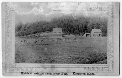 Keith & Adams Cranberry Bog, Kingston, Mass. possibly around 1900