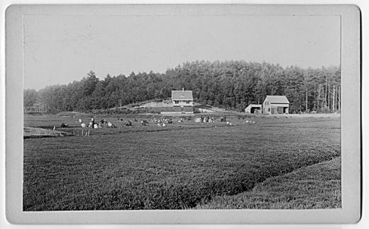 Cranberry harvest, possible around 1900