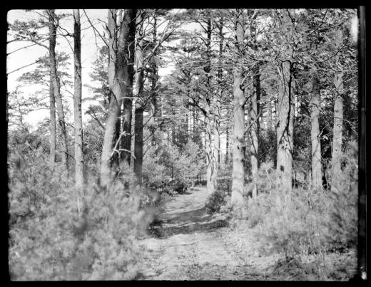 Singing pines, circa 1925. By Emily Fuller Drew.